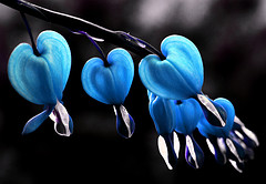 BleedingHearts in Blue