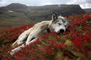 Alaskan Husky Tex dreaming in the landscape of Northern Norway