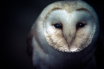 animals-barn-owl-beautiful-owl-photography-Favim.com-314395