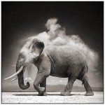 elephant,black,white,animal,black,and,white,dust,photo-f3f30e653ed3391360c22898b6eee8b2_h