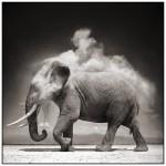 elephant,black,white,animal,black,and,white,dust,photo-f3f30e653ed3391360c22898b6eee8b2_h
